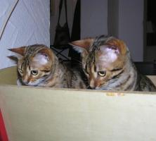 Foto 6 Zwei herzige Schmusekatzen aus Wohnzimmerzucht!