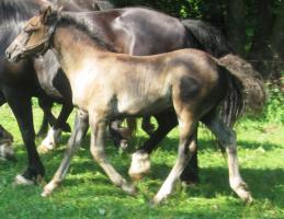 Foto 4 Zwei hübsche Welsh Cob Stutfohlen zu verkaufen