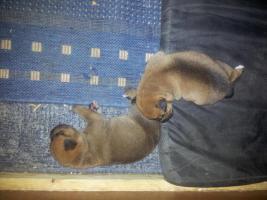 Foto 11 Zwei knuddelige Mischlingswelpen zu vermitteln