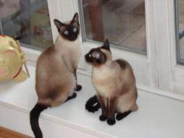 Zwei reinrassige Siamkatzen