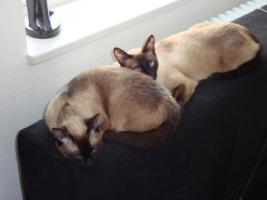 Foto 2 Zwei reinrassige Siamkatzen