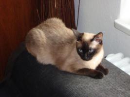 Foto 3 Zwei reinrassige Siamkatzen
