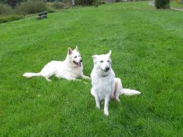 Zwei reinrassige süße weiße Schäferhund Welpen