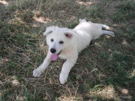 Foto 2 Zwei reinrassige süße weiße Schäferhund Welpen