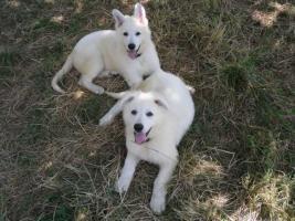 Foto 3 Zwei reinrassige süße weiße Schäferhund Welpen