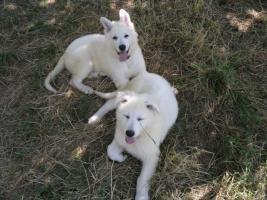 Foto 5 Zwei reinrassige süße weiße Schäferhund Welpen