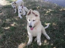 Foto 6 Zwei reinrassige süße weiße Schäferhund Welpen