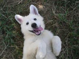 Foto 7 Zwei reinrassige süße weiße Schäferhund Welpen
