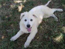 Foto 8 Zwei reinrassige süße weiße Schäferhund Welpen
