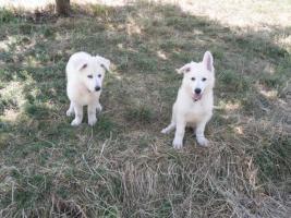 Foto 9 Zwei reinrassige süße weiße Schäferhund Welpen