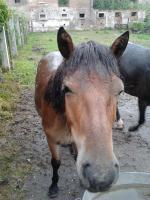 Zwei schöne Ponys