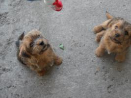 Zwei süße Norfolk Terrier Welpen suchen neues Zuhause