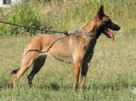 Foto 2 Zwei weibchen Belgische schäferhunde-Malinois za verkaufen!