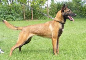 Foto 6 Zwei weibchen Belgische schäferhunde-Malinois za verkaufen!