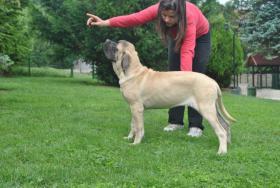 Zwei weibliche English Mastiff Welpen zum Verkauf