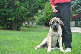 Foto 2 Zwei weibliche English Mastiff Welpen zum Verkauf