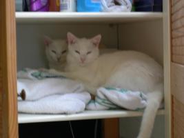 Zwei weisse Katzengeschwister in gute Hände abzugeben!!!
