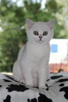 Zwei wunderschöne BKH Katzen wegen Allergie abzugeben!