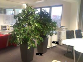 Zwei wunderschöne Ficus-Pflanzen inkl. Blumentöpfen zu verkaufen!