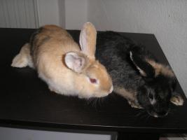 Foto 2 Zwerg Kaninchen