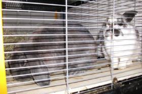 Zwerg Kanninchen suchen ganz schnell ein neues zu Hause!!!!