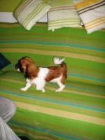 Foto 2 Zwerg Pekinesen Welpe -Rüde-(kompl.entw., kompl.geimpft, gechipt)