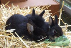 Foto 4 Zwerg kanninchen 9 Wochen alt.