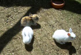Foto 5 Zwerg kanninchen 9 Wochen alt.