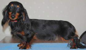 Foto 5 Zwerg- & Kaninchenlanghaardackelwelpen mit FCI Pap.