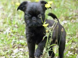 Zwerggriffon - Mops ferner Verwandte - ein idealer Hund für City-Wohnung