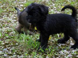 Foto 3 Zwerggriffon - Mops ferner Verwandte - ein idealer Hund für City-Wohnung