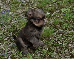 Foto 4 Zwerggriffon - Mops ferner Verwandte - ein idealer Hund für City-Wohnung