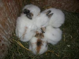 Zwergkaninchen-Babys