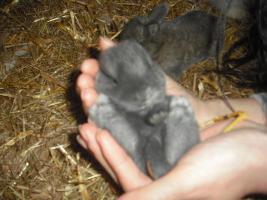 Foto 2 Zwergkaninchen, Teddy, Zwergwidder abzugeben