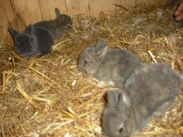Foto 3 Zwergkaninchen, Teddy, Zwergwidder abzugeben