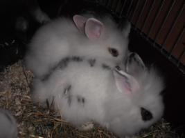 Foto 5 Zwergkaninchenbabys