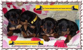Foto 2 Zwergpinscher-Rehpinscher-Welpen m. Pap. aus Hobbyzucht