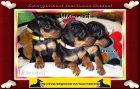 Foto 5 Zwergpinscher-Rehpinscher-Zwergrehpinscher-Welpen mit Papieren aus Familienaufzucht