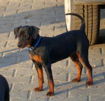 Foto 3 Zwergpinscher Welpen mit VDH-Ahnentafel