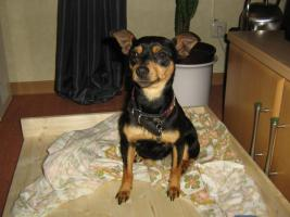 Zwergpinscher, Hündin, 5 J. black and tan