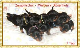 Foto 2 Zwergpinscher- Zucht seit 1992 mit WRC Ahnentafel