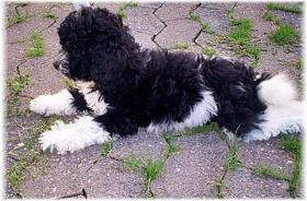 Zwergpudelwelpe-Rüde m. P. sucht neue Hundeeltern