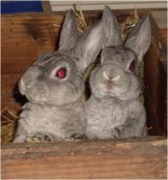Zwergrex Kaninchen Jung- und Zuchttiere