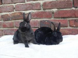 Foto 2 Zwergrex Kaninchen Jung- und Zuchttiere