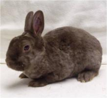 Foto 4 Zwergrex Kaninchen Jung- und Zuchttiere