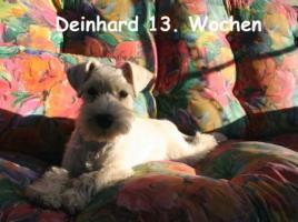 Zwergschnauzer weiß Rüde und Hündin 14 Wochen alt abzugeben