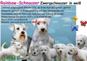 Foto 6 Zwergschnauzer weiß Rüde und Hündin 14 Wochen alt abzugeben