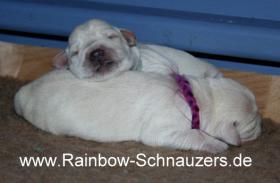 Foto 6 Zwergschnauzer weiss, knuddelig, pflegeleicht, nichthaarend