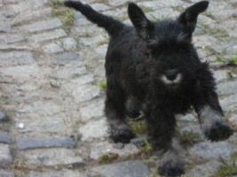 Foto 2 Zwergschnauzerwelpen schwarz silber
