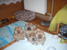 Zwergspitz/Pomeranian